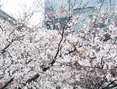 診療室裏側の桜